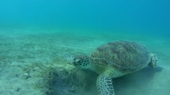 Diver looking at green sea turtle (Chelonia mydas) Stock Footage