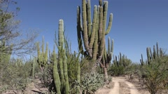 Pan of Trail Cactus and Beautiful Desert Scenery Baja Peninsula Stock Footage