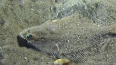 European flounder swims away from the frame. Stock Footage