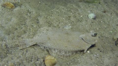 European flounder lies at the bottom. Stock Footage