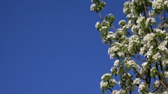 Plum fruit tree branches blossom in spring, blue sky as copy space - stock footage