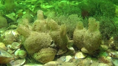 Several sea squirts in the seabed. - stock footage
