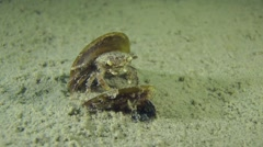Grapsoid Crab in the empty shell of mussel. Stock Footage