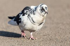 portrait of pigeon on nature - stock photo