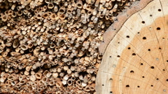 Flying wild bee Osmia bicornis on insect hotel. Stock Footage