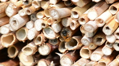 Springtime. wild bee Osmia bicornis on insect hotel. Stock Footage