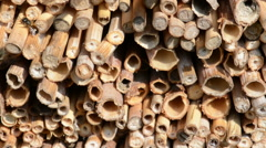 Male wild bee Osmia bicornis on insect hotel. Stock Footage