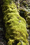 Forest - Moss covered tree bole - stock photo