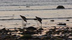 Marbled Godwit Shorebirds Feeding Along Ocean Shore at Dusk Stock Footage