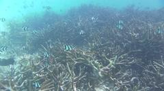 A large swarm threebar dascyllus Stock Footage