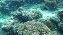 White-spotted grouper fish hiding among the corals Stock Footage