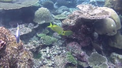 Two barred rabbitfish Stock Footage