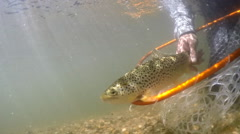 Brown Trout fishing underwater Stock Footage