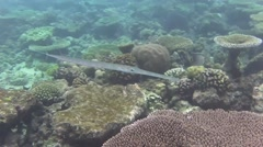 A trumpet fish swims Stock Footage