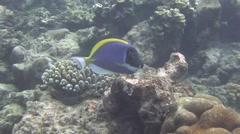 A powder-blue surgeonfish Stock Footage