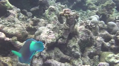 Greenlip parrotfish fish looking for food on the coral reef Stock Footage