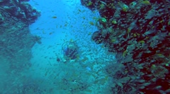 Diver swims through a School of fish Glassy Sweepers (Pempheris schomburgkii) - stock footage