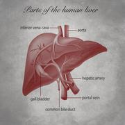 Parts of the human liver - stock illustration