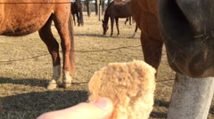 Man gives the horse a piece of bread first person view Stock Footage