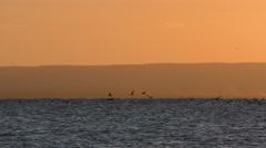 Pelican Flock Diving Splashing and Feeding in Ocean at Orange Sunset Stock Footage