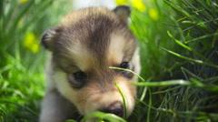Newborn malamute puppy on the green grass slow motion Stock Footage