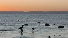 Marbled Godwit Shorebirds Feeding Along Ocean Shore at Sunset Stock Footage