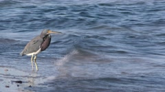 Tricolored Heron Bird Standing in Ocean Surf in Baja Peninusula Stock Footage