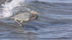 Tri-colored Heron Bird in Ocean Surf in Slow Motion in Baja Peninsula Stock Footage