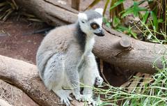 Cute lemur in a zoo Stock Photos