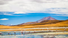 Flamingos at Laguna Colorada in Uyuni, Bolivia Stock Footage