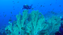 diver swimming over coral reef - stock footage