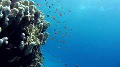 Freediver considering school of fish on the coral reef - stock footage