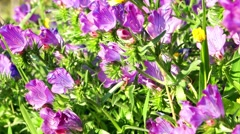Flowers of purple viper's bugloss Stock Footage