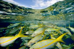 Yellowtail snapper. - stock photo