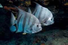 Pair of Atlantic spadefish. Stock Photos