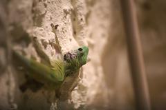 Day gecko (Phelsuma madagascariensis) sitting on a chalk wall Stock Photos