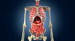 Skeleton with internal organs - stock illustration