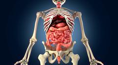 Skeleton with internal organs - stock illustration