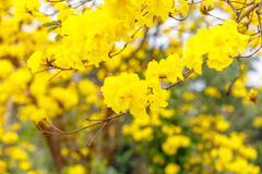 Yellow tabebuia flower blossom on white background - stock photo