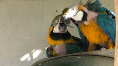 Two molting parrots playing Stock Footage