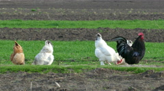 Hen and rooster peck - stock footage