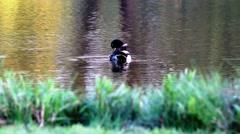 Beautiful Duck Swimming on Pond Lake Stock Footage