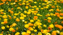 Calendula flowers Stock Footage