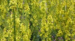 Verbascum plant is blooming in yellow Stock Footage