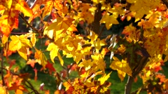 Sweetgum in fall, many leaves Stock Footage