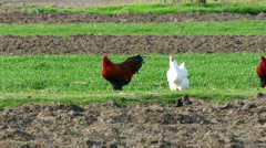 Hen and rooster pecking on a field - stock footage