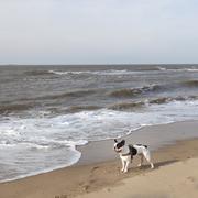 Black and white pug dog on beach near sea Kuvituskuvat
