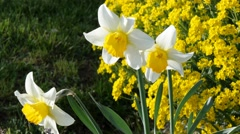 April blooming Narcissi flowers Stock Footage