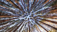 Looking up into pine forest canopy, ultra wide angle - stock footage