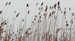 Sunset Through the Reeds. Silver feather grass swaying in wind. - stock footage